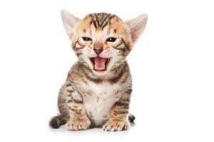 gatinho de Bengala no fundo branco foto