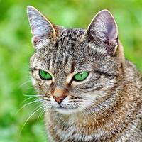 gato listrado com olhos verdes foto