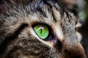 olho verde closeup de maine coon preto gato tigrado. macro foto