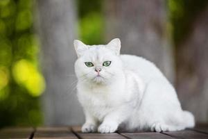 gato shorthair britânico ao ar livre foto