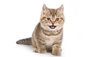 gatinho britânico em fundo branco foto