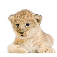 filhote de leão deitado foto