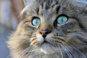 o lindo gato norueguês foto