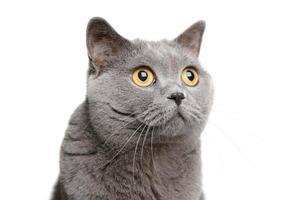 gato de pêlo curto britânico foto