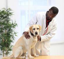 veterinário examina labrador foto