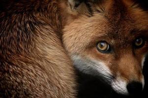 olhar de raposa. Sam Morris foto