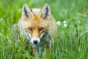raposa vermelha europeia foto
