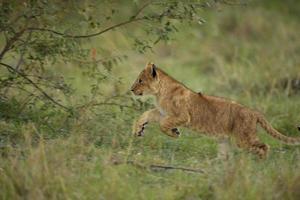 leões brincalhão