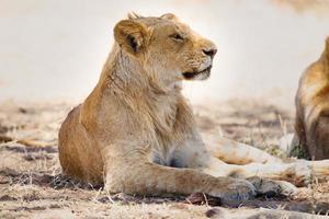orgulho do leão repousa na África foto