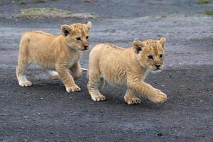 filhotes de leão