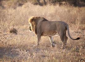 amanhecer leão em chobe, botsuana foto