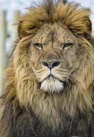leão macho foto