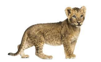 Vista lateral de um filhote de leão em pé, olhando para longe foto