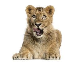 filhote de leão deitado e olhando avidamente foto