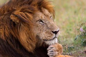 retrato de um leão africano em masai mara, quênia