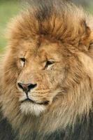 leão africano masculino foto