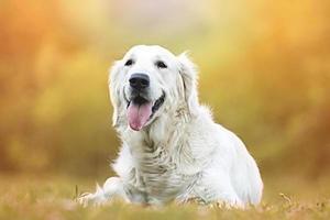 cão bonito e bonito divertido labrador retriever dourado no pôr do sol foto