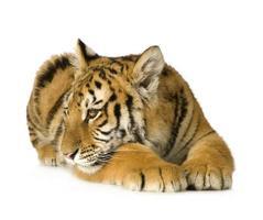 filhote de tigre (5 meses) foto