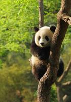 filhote de panda bonito foto