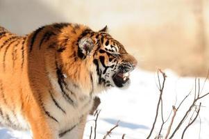tigre com presas à mostra foto