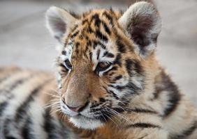 jovem tigre foto