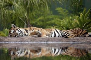 sono tigre foto