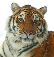 Tigre siberiano foto