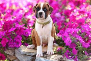 filhote de boxer, sentado no belo jardim de flores