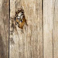 olho de tigre no buraco de madeira foto