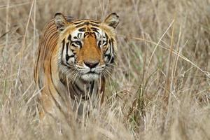 macho de tigre de Bengala selvagem esgueirando-se pela grama, Índia