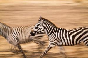 zebras correndo na savana foto