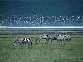 milhões de flamingos cor de rosa com zebras foto
