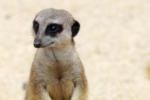 retrato de meerkat