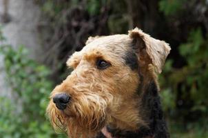 nosso airedale terrier - retrato foto