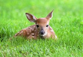 jovem corça na grama foto