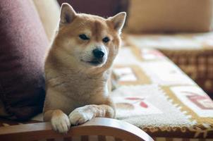cachorro no sofá foto