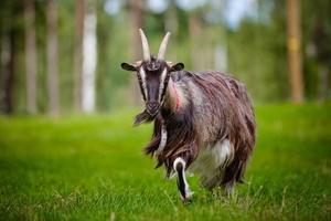 retrato de cabra foto
