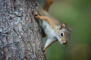 esquilo norte-americano subindo na árvore no quintal foto
