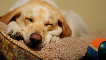 cachorro dormindo na cama de cachorro foto