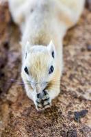 squirre na Tailândia foto
