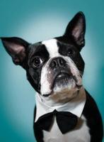 Boston terrier em gravata borboleta foto