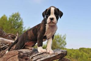 boxer filhote de cachorro