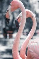flamingos cor de rosa contra o fundo desfocado foto
