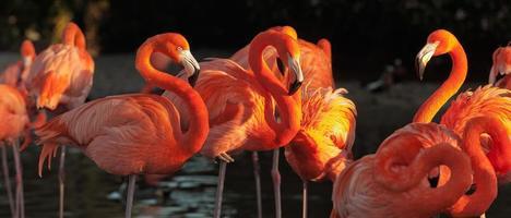 flamingos do Caribe sobre o belo pôr do sol foto