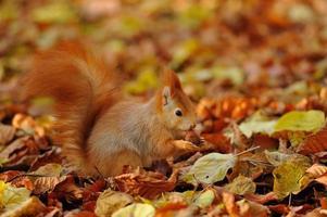 esquilo vermelho em pé com avelã em folhas coloridas foto