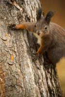 esquilo vermelho em uma árvore foto