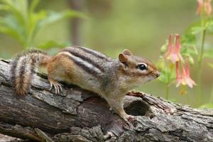 esquilo oriental e aquilégia selvagem foto