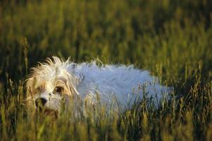 casaco áspero jack russel terrier foto