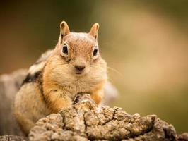 esquilo bonito bem alimentado com nozes e sementes foto