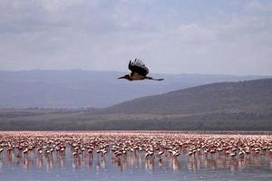 flamingos, áfrica foto